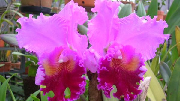 Thủ thuật kích lan Cattleya ra hoa