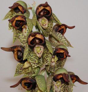 Hình ảnh các loài phong lan lạ và đẹp