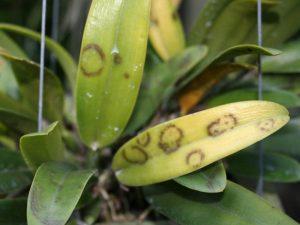 Kết quả hình ảnh cho Bệnhcủa hoa lando virus: