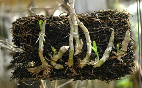 Cách nhân giống các loại lan hoàng thảo