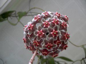 Sắc màu tươi tắn và hương thơm dịu ngọt của hoa cầm cù