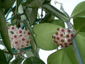 Hình ảnh hoa cẩm cù