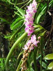 Kỹ thuật trồng và chăm sóc lan Sóc lào - Aerides multiflora