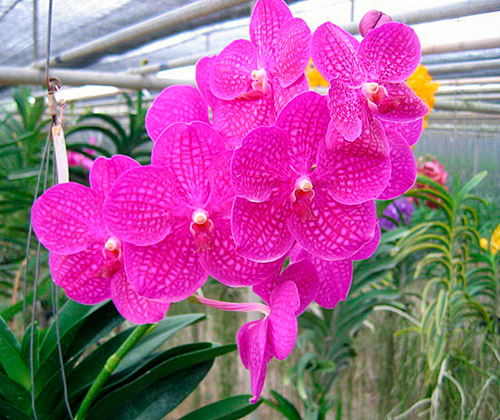 Kinh nghiệm trồng hoa lan Vanda