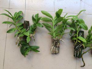 Kỹ thuật trồng và chăm sóc lan Trầm tím nở đúng dịp Tết rực rỡ đón Xuân