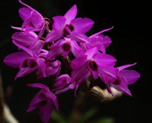Kỹ thuật căn hoa trầm tím nở đúng dịp Tết