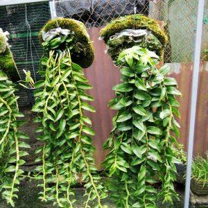 Kỹ thuật trồng và chăm sóc lan Long tu