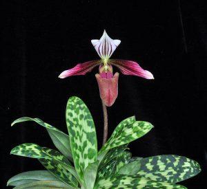 Cách phát hiện và điều trị bệnh cho lan hài - Slipper Orchid