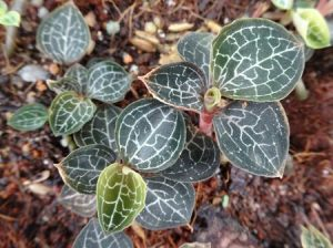 Quy trình trồng và chăm sóc cây lan Kim tuyến