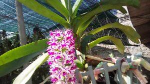 Cách ươm trồng và chăm sóc Đai châu rừng