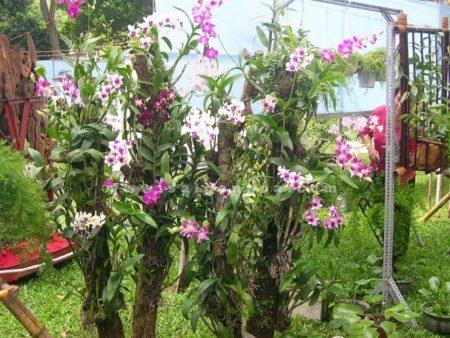 Cách trồng phong lan Dendrobium