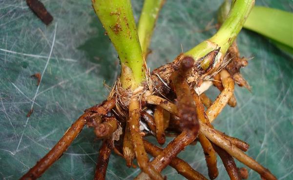 Kết quả hình ảnh cho Bệnh thối rễ và gốclan