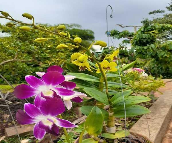 Cách chăm sóc lan khi ra hoa