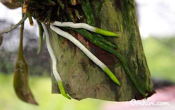 Kích rễ cho lan