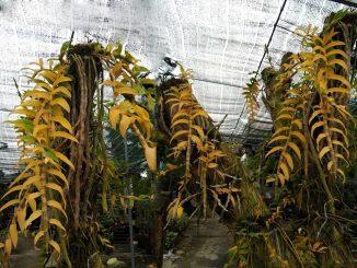 bệnh vàng lá ở lan