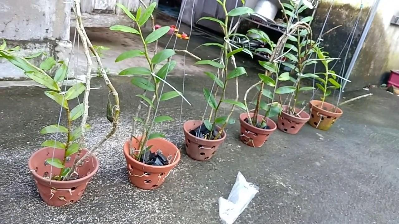 trồng lan trong chậu