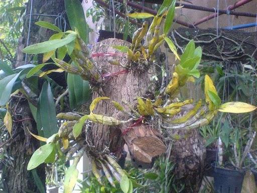 Ghép lan vào thân cây sống